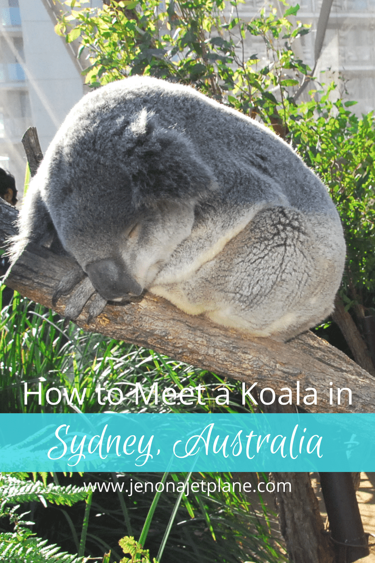 At Wild Life Sydney Zoo guests have the ability to meet a koala and a kangaroo. The last place you'd expect to have a wildlife adventure is in the middle of Sydney! #koalas #traveling #australia #sydneyaustralia #kangaroos
