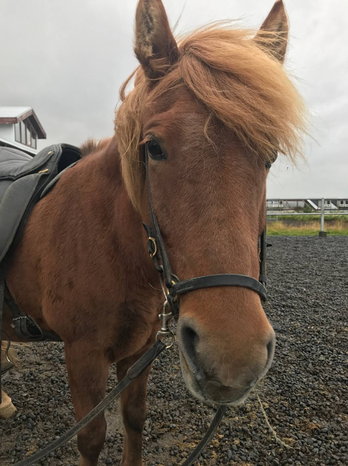 Riding Icelandic Horses with Viking Horses in Reykjavik, Iceland