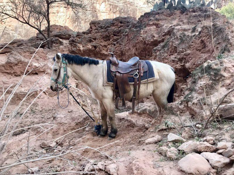 Mule on the Havasu Falls Trail
