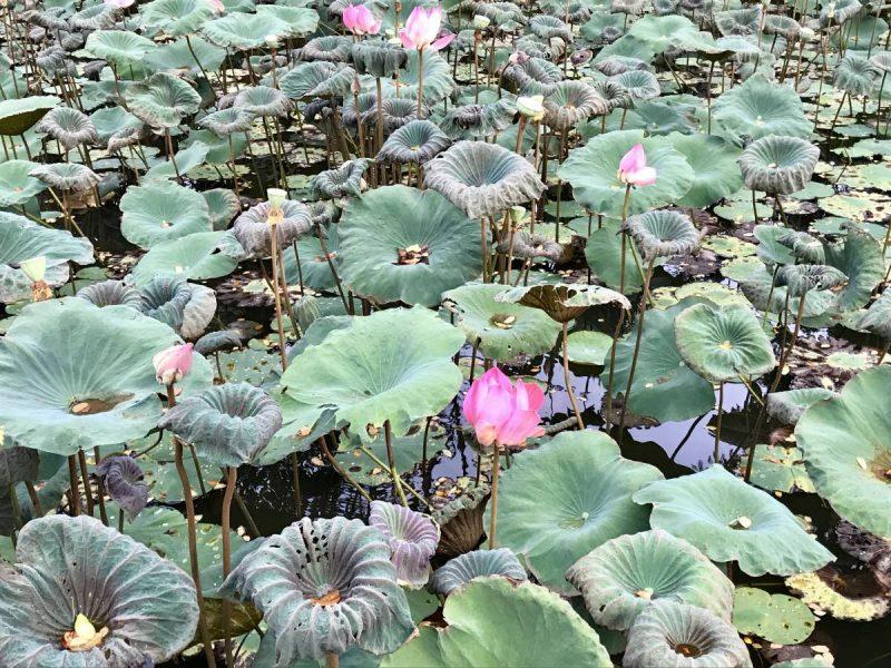 Lily pads in Ubud
