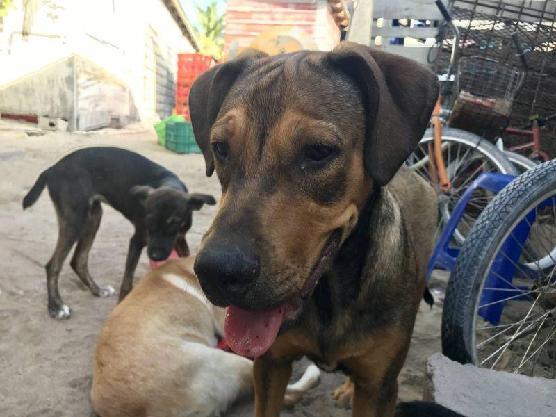 Dogs up for adoption at Caye Caulker Animal Shelter