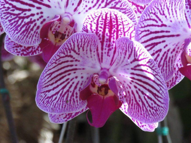Purple orchid in Medellin