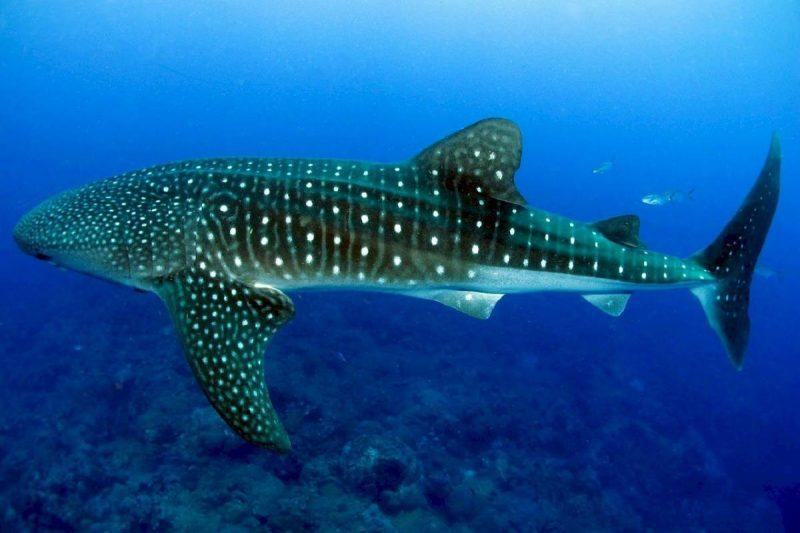 Unique things to do in Cancun swim with whale sharks
