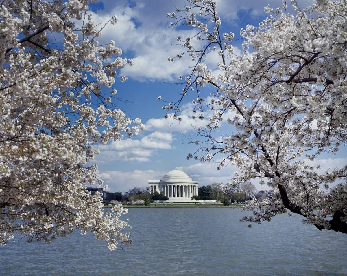 View of Jefferson Memorial framed by cherry blossoms