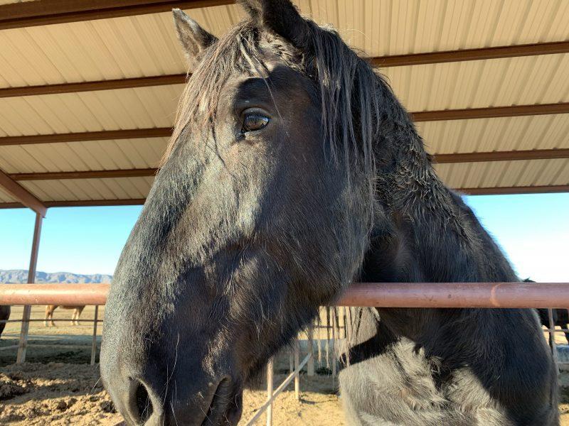 Black horse profile shot
