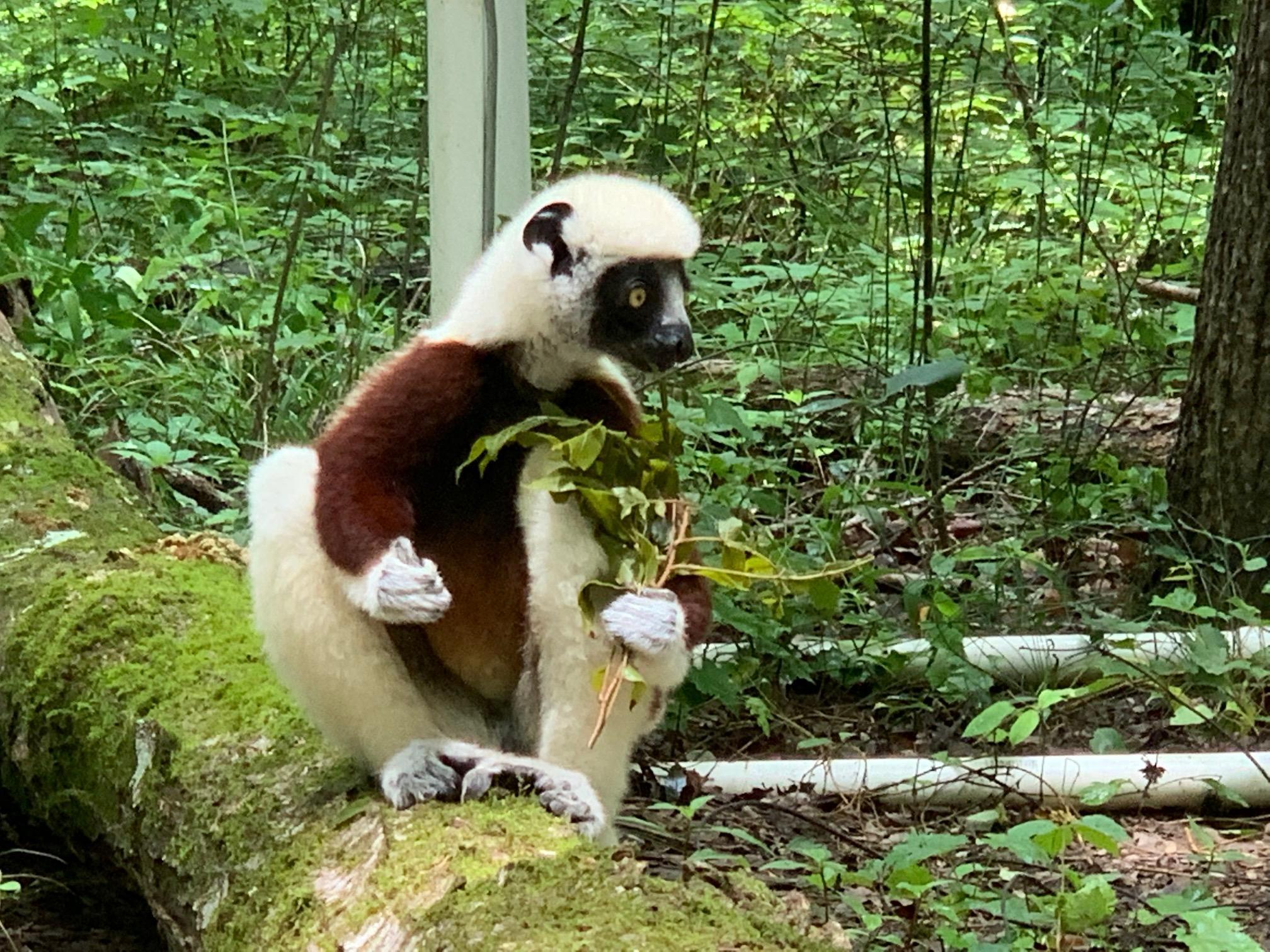 Lemur eating leaves