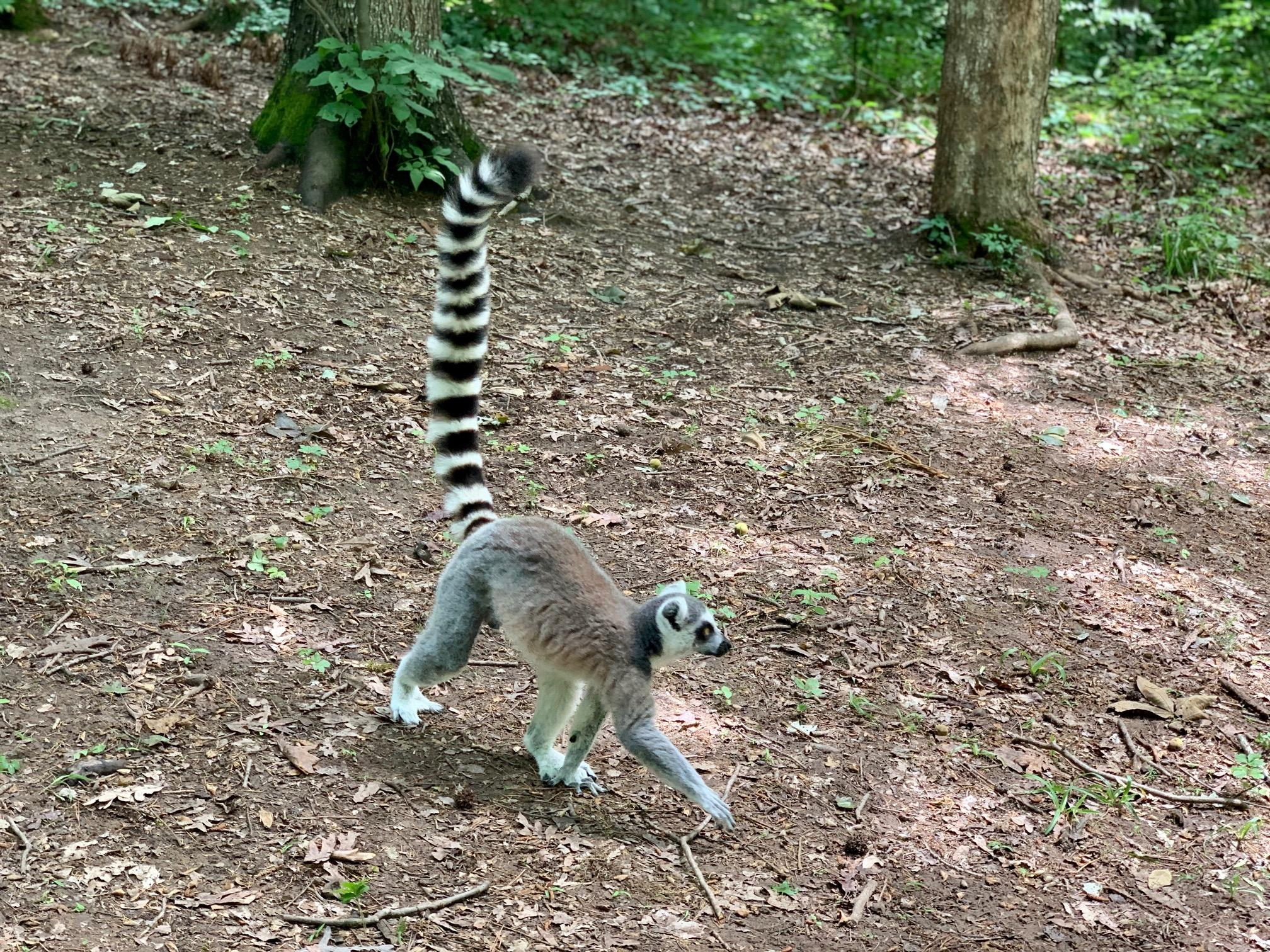 Ring tailed lemur walking