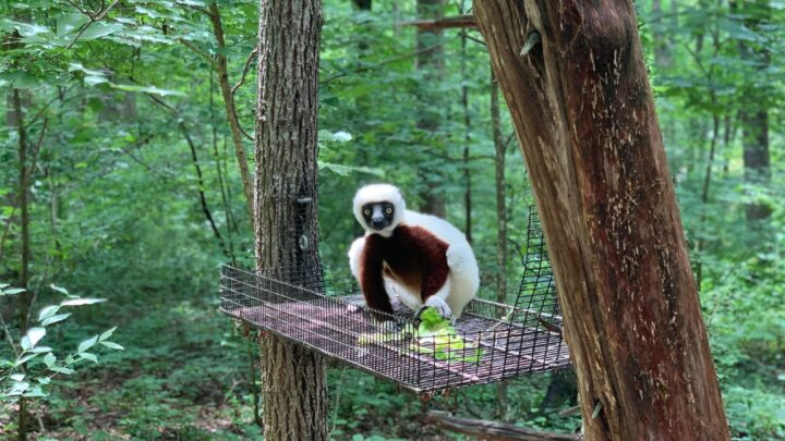 Visiting the Duke Lemur Center in Durham, North Carolina: A First-Timers Guide