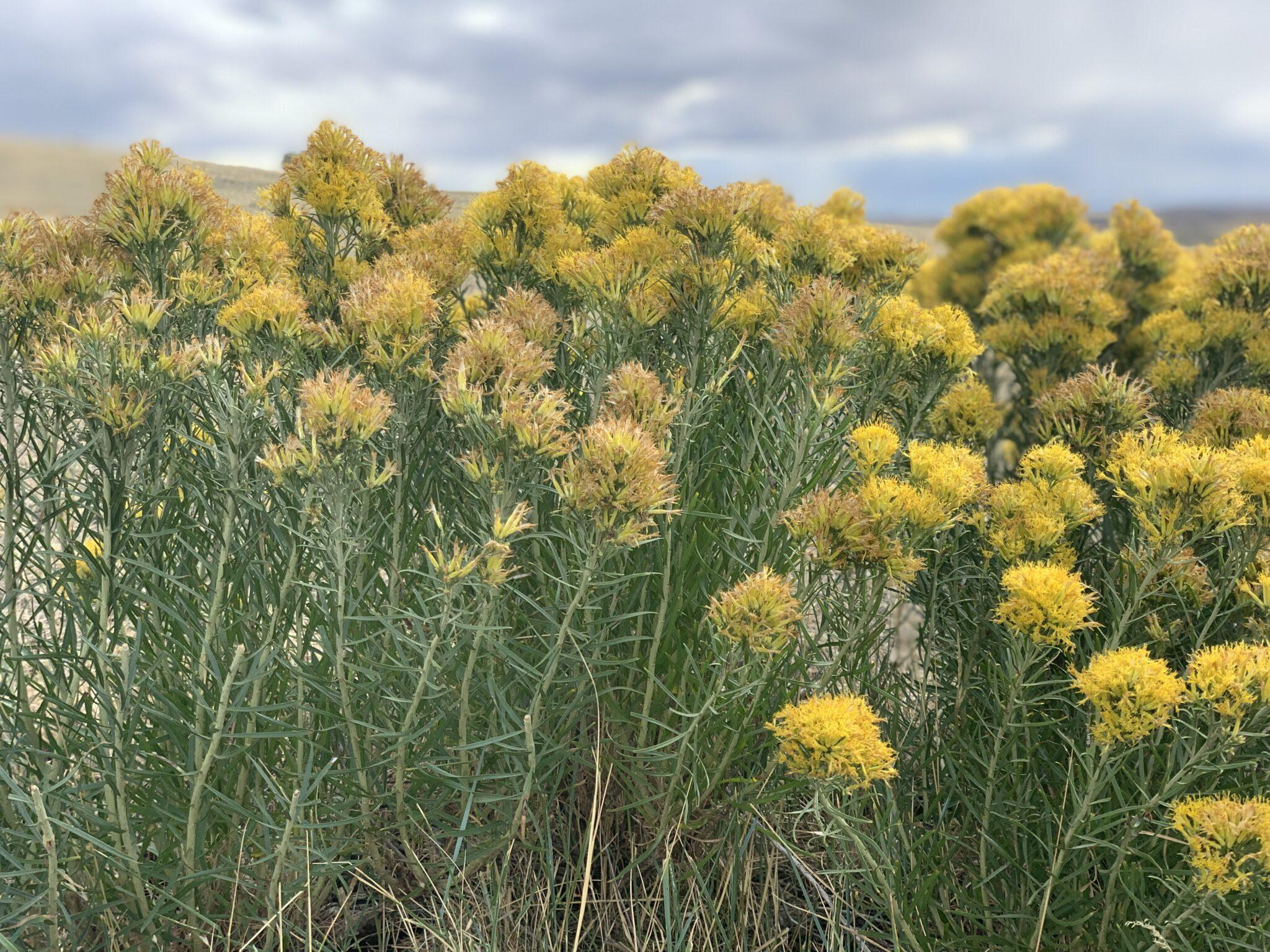 Yellow flowers in the plains